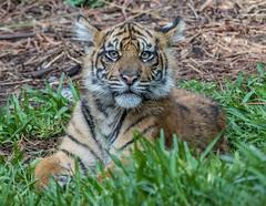 Debbie @ 6 Months (ToddLahman) Tags: debbie joanne teddy sandiegozoosafaripark safaripark sumatrantiger escondido canon7dmkii canon canon100400 tigers tiger tigertrail tigercub