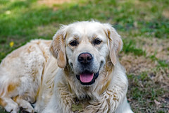 Barney (With his new nikon d7200) Tags: food green dogs water golden play retriever