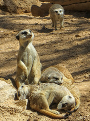 Bioparc Valencia (fozzie88) Tags: valencia meerkat spanien erdmnnchen bioparc