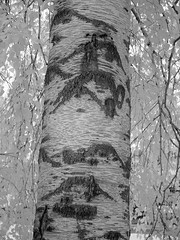 IMG_1756 - Patterns in Nature (Syed HJ) Tags: canong1x canon g1x infrared ir blackandwhite bw blackwhite 850nm tree trees treetrunk