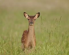 Slimline fawn (Hammerchewer) Tags: outdoor wildlife deer fawn reddeer