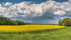 Canola & Clouds - 2 (John Payzant) Tags: canada clouds alberta hdr canola oilseed strrom