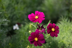 DSC02133 (Zengame) Tags: hamarikyu hamarikyugardens rx rx1 rx1r rx1rm2 rx1rmark2 sony zeiss cc cosmos creativecommons flower japan tokyo           jp