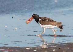American Oystercatcher (sbuckinghamnj) Tags: shorebird americanoystercatcher sandyhook newjersey beach