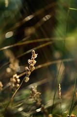Summer in Cogne 0.1 (bresciano.carla) Tags: naturalmente pentaxart pentaxk500 helios442 vintage manuallens nature bokeh light wood meadow grass cognevalledaostaitalia