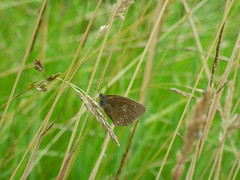 x P2520016c Ringlet in our 'wild' meadowland grasses . .. . . (Erniebobble::) Tags: erniebobble 2016 nature newforest wildlifegarden wildlife balance butterfly lepidotera wings ephemeral edge environment climate delicate feeding colours chrispackham bct fleeting meadow restful reflection tranquil metamorphosis transient transitory painting pattern passage art floating flower garden gentle peaceful portrait resting suspended surface summer hues biodiversity ecosystem weather study stilllife secretworld unseen unsprung glimpse soft subdued muted season springwatch textural symbiosis pollination nectar antennae illuminating imagination inspiring education learning flight alight above harmonious happy smile