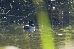 Tufted Duck (male) (christopheradler) Tags: germany tufted duck aythya fuligula