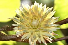 Dahlia Macro (CCphotoworks) Tags: ©ccphotoworks bokeh pretty nature blooming bloom yellowflower macroflower dahlia