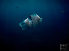 Medussa 'Rhizostoma octopus' jellyfish (Cesc Aromir Hdez) Tags: diving mar sea ocean open waters swimming dive swim jellyfish medussa medusses medusas mediterrani mediterrneo mediterranean tossa costabrava rhizostoma octopus medusa aguamala aguamar acalefo azul blau blue deep animal animals animales aqua natura nature