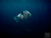 Medussa 'Rhizostoma octopus' jellyfish (Cesc Aromir Hdez) Tags: diving mar sea ocean open waters swimming dive swim jellyfish medussa medusses medusas mediterrani mediterráneo mediterranean tossa costabrava rhizostoma octopus medusa aguamala aguamar acalefo azul blau blue deep animal animals animales aqua natura nature