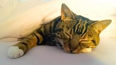 Cat Nap (kellylwood81) Tags: animal cat calico cats cute furry gato katze kitten sony sleeping tabby whiskers xperia