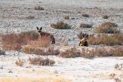 DSC_4373.JPG (manuel.schellenberg) Tags: namibia etosha animal nationalpark fox batearedfox