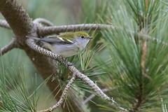 Chestnut-sided Warbler (eastbaybotanist) Tags: warbler woodwarbler pointreyes