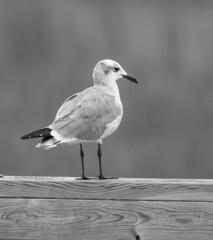 Seagull in B&W (backyardpix) Tags: birds birding seagulls nature naturephotography outdoors marine beach bw