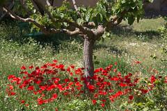 Monestir de les Avellanes (efe Marimon) Tags: canoneos70d felixmarimon catalunya lleida lanoguera monestirdelesavellanes amapolas