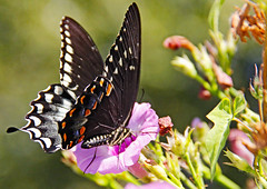 Eastern Black Swallowtail (Ellsasha) Tags: butterflies butterfly easterblackswallowtail insect insects flowers nectar pink pinks green flight black bokeh nature