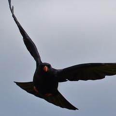 Chough getting airborne (Robin M Morrison) Tags: chough cornwall lizard