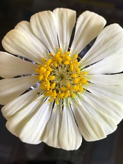 (dhieba22) Tags: nature whiteflower zinnia flower iphone iphonephotography iphone7pluscamera iphone7plus dhieba22