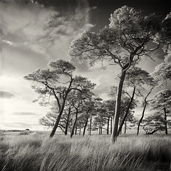 Kippen Muir Pines September 2016 (michael prince) Tags: film scotland stirling ir rollei400ir hasselblad closetohome kippen kippenmuir infrared