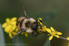 Bombus....? (dbifulco) Tags: bee bright bumblebee colors flower garden goldenrod insects macro nature newjersey nikkor105f28 wildlife yellow