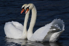 Swan Love (Robin M Morrison) Tags: swan loving pairs somerset