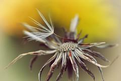 Dandelion (inge_rd) Tags: dandelion pusteblume blowball autumn herbst verblüht bokeh makro wiese löwenzahn