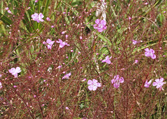 False Foxglove (Agalinis sp.) (Mary Keim) Tags: taxonomy:genus=agalinis centralflorida marykeim halscottpreserve floridanativewildflowers