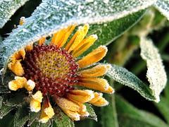 Frozen Burst of Happiness (whitesepulchre) Tags: morning autumn cold flower fall yellow canon frost herbst freezing frosty gelb blume kalt morgen gefroren sx50 canonpowershotsx50