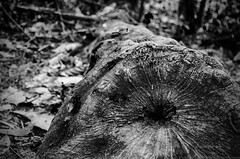 The falllen (Dingo photography) Tags: bw white black tree texture dead nikon kitlens bark fallen chopped 1855mm dx d5100