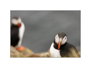 The World Can Never Have Enough Puffin Pics!