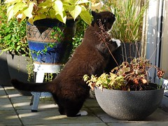 That's Not your cat grass Tussi! (vanstaffs) Tags: t tuxedocat tutu tusse tussi tuzz tuxedogirl myprettytuxedogirl tuzz®