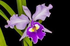 Cattleya warscewiczii (Ramsis'07) Tags: orchid flower green lavender cattleyawarscewiczii flowerwatcher