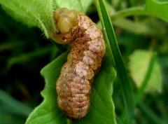 Lepidoptera 00 (alfredoeloisa) Tags: lepidoptera arthropoda insecta hexapoda pterygota neoptera mandibulata