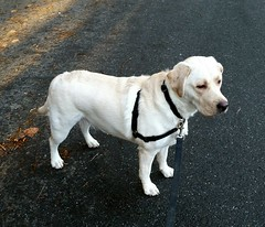Gracie at New Year (walneylad) Tags: winter dog pet cute puppy gracie lab labrador january canine labradorretriever newyearsday