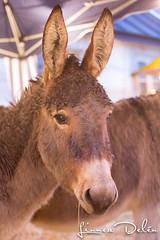 IMG_1567 (Linnea Deln) Tags: donkeys donkey julmarknad sna snor