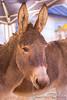 IMG_1567 (Linnea Delén) Tags: donkeys donkey julmarknad åsna åsnor