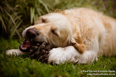 Bailey eating a pine cone
