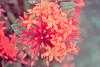 (Luci Correia) Tags: red flores flower nature natureza flor catchycolorsred florvermelha lucicorreia lucicorreiafotógrafa lucicorreiafotografia colecionandoluzes lucicorreiaphotographer