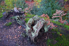 Lichen on tree stump, Thornden Woods (Aliy) Tags: wood autumn trees leaves woodland moss woods blean autumnleaves stump gnarly lichen ferns mossy autumnal treestump gnarled thornden westblean