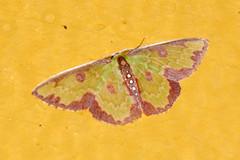 Peru Moth sp. 121; Synchlora sp. (Geometridae) (S Whitebread) Tags: peru lepidoptera moths geometridae synchlora abrapatricia owletlodge