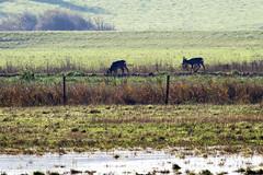 Deer in the distance (lens buddy) Tags: uk england nature canon wildlife naturereserve wwt wetland wildfowl somerest stockland steart steartpoint canoneosdigital ukwildlife hinkleypoint coastalmarsh combwich riverparret otterhampton steartmarshes otterhamptonmarshes