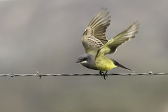 Cassin's Kingbird - from the archives (Bob Gunderson) Tags: california birds northerncalifornia southbay cassinskingbird tyrannusvociferans flycatchers tyrantflycatchers panochevalley