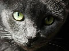 Callisto (alansurfin) Tags: pet cats pets cat kat feline gato felino gatto gatta