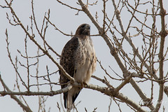 A Red Tailed Hawk tries to hide among branches.