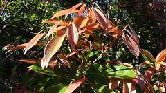 Elaeocarpus eumundi leaves in Raintrees garden (spelio) Tags: nsw 2014 may coast travel holiday elaeocarpuseumundi elaeocarpus raintrees elaeocarpaceae arfp nswrfp qrfp newgrowth subtropicalarf warmtemperatearf leaf rnrfgdb rnrfgdbarfp diamondbeach