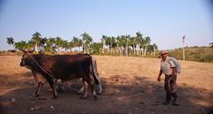 Guajiro con yunta de bueyes (lezumbalaberenjena) Tags: camajuani camajuaní villas villa clara cuba campo campiña guira crescentia cujete güira lezumbalaberenjena