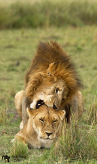 lion's sex ( Mathieu Pierre photography) Tags: county 2 cats baby 3 game beach fashion animals rock cat canon that is big melting remember kenya african wildlife lion young reserve photographers safari pot national ii level unite mara 7d l mm usm moment majestic 70200 f28 maasai flin 70200mm vigilant narok mygearandme vpu2 vpu3 vpu4 folken4461