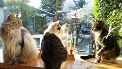 Floris, Jasmijn and Totoro (Cajaflez) Tags: pet cute window cat katten kat chat longhair totoro mainecoon katze windowsill gatto huisdier haustier kater floris raam vensterbank leuk grappig jasmijn saariysqualitypictures