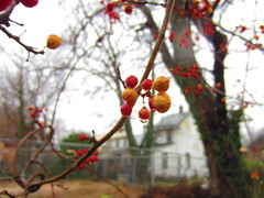 back alley winter berries on twisty vines (Zombie37) Tags: street city houses winter red plants brown plant green nature wet water rain landscape blurry vines alley focus colorful soft berries bright gray maryland baltimore twig stick dots waterdrops orbs interest circular fogged twisty bittersweet ornage orientalbittersweet celastrusorbiculatus orbiculatus urbanevine