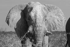Tottorìga (cocciula) Tags: africa trip bw parco elephant animals fauna namibia viaggio animali primopiano etosha africanelephant elefante loxodonta enorme 2014 parconazionale orecchie elefanteafricano africanmammals etoshanationalpark chepostaccio pachidermi faunaafricana continentenero fragilizanne parabonzibonzibom